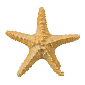 Asteroidea Decorative Starfish - 'Natural' (25 x 25cm)