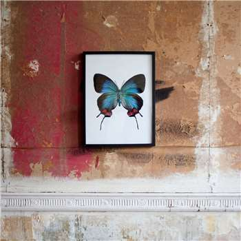 Small Wooden Framed Butterfly Print - Evenus Coronata (H42 x W32 x D2cm)