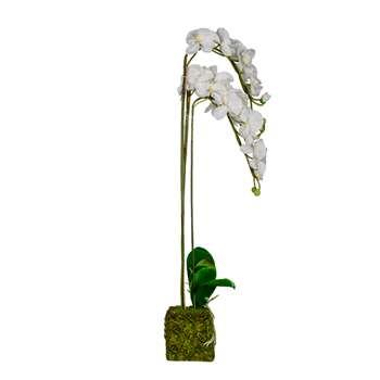 White Triple Phalaenopsis (Height 110cm)