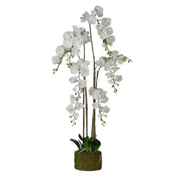 White XL Phalaenopsis (Height 145cm)